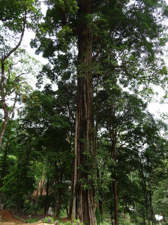 A tree engulfed by a ficus