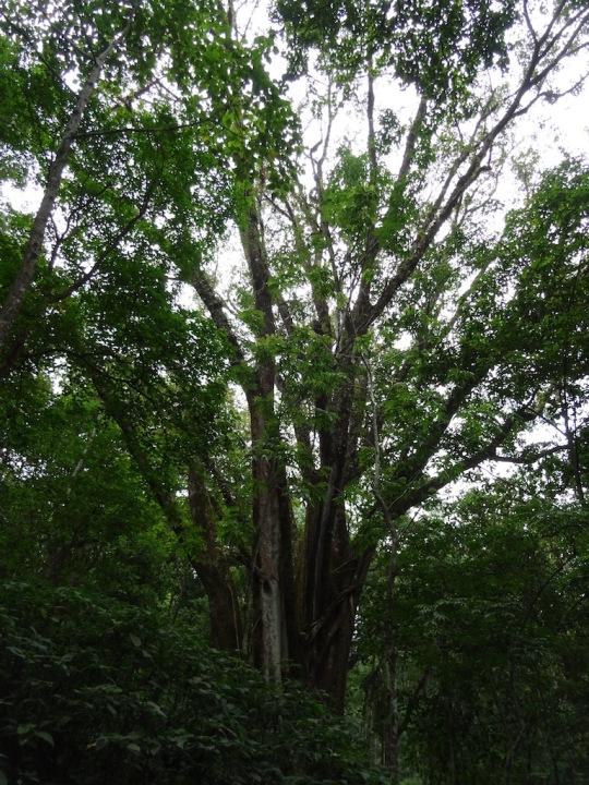 A big Banyan we considered for a platform