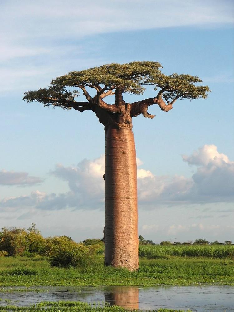 Adansonia, Madagascar resized