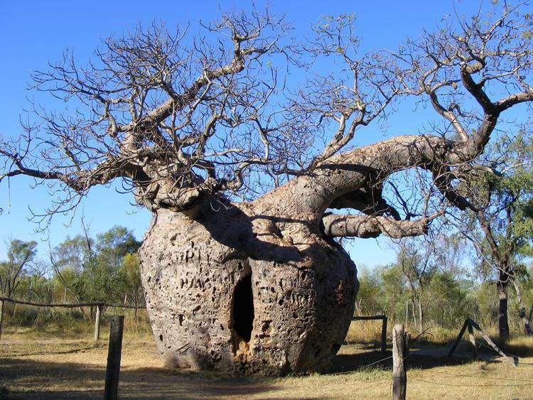 Baobab prison tree - 2
