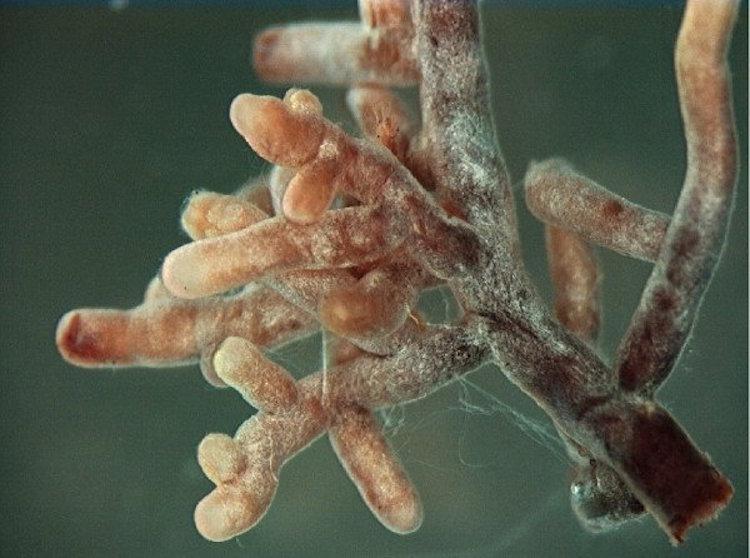 Mycorrhizal_root_tips_(amanita)